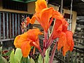 Canna (variegated leaves) flowers.jpg