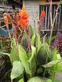 Canna (variegated leaves) habit.jpg