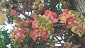 Cannonball Flowers.jpg