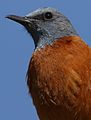 Cape Rock Thrush, Monticola rupestris, at Walter Sisulu National Botanical Garden, Gauteng, South Africa (28785941804).jpg