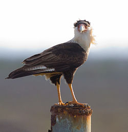 meaning of caracara