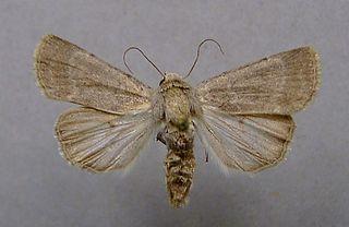 <i>Caradrina gilva</i> Species of moth