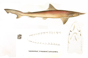 Carcharias laticaudus by muller and henle.png