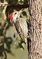 Cardinal Woodpecker - MALE, Dendropicos fuscescens at Pilanesberg National Park, Northwest Province, South Africa (15091610952).jpg
