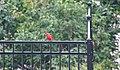 Cardinal in Hannibal MO (36824780245).jpg