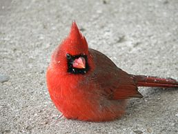 Cardinal on a Snowy Day.jpg