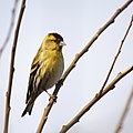 Carduelis spinus - male.jpg