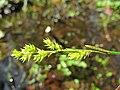 Carex elongata inflorescens (1).jpg