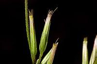 C. tenuiflora