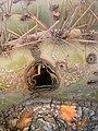 Carnegiea gigantea 2.jpg