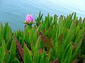 Carpobrotus edulis, Point Reyes.jpg