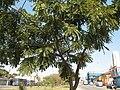 Cassia leptophylla com frutos.JPG