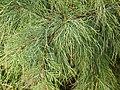 Casuarina equisetifolia L. 木麻黃 - panoramio.jpg