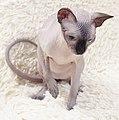 Cat - Sphynx. img 064.jpg