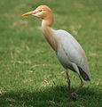 Cattle Egret (Bubulcus ibis) in Hyderabad W IMG 8254.jpg