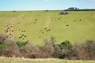 Worthing Downland Estate - Image: Cattle on west slopes of Lychpole Hill geograph.org.uk 1730774