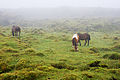 Cavalos a pastar, interior da ilha do Pico, Açores, Portugal.JPG