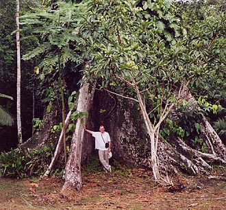 Buttress root - Buttress roots of an especially large Ceiba tree near shore of Amazon River, close to Iquitos, Peru