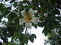 Ceiba chodatii flower.jpg