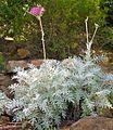 Centaurea 04.jpg