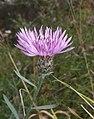 Centaurea stoebe 281007b.jpg