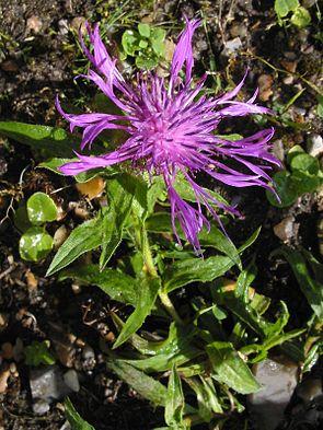 Centaurea uniflora.jpg
