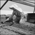 Centerville, California. Transplanting tomato plants in a section where, before evacuation, ranches . . . - NARA - 536024.tif
