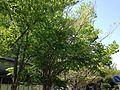 Cercidiphyllum japonicum in Hakozaki Campus, Kyushu University.JPG