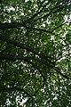 Cercis canadensis 33zz.jpg