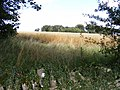 Cereal Crop - geograph.org.uk - 980278.jpg