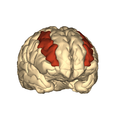 Cerebrum - middle frontal gyrus - anteriior view2.png