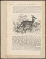 Cervus muntjac - 1700-1880 - Print - Iconographia Zoologica - Special Collections University of Amsterdam - UBA01 IZ21500362.tif
