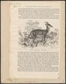 Cervus muntjac - 1700-1880 - Print - Iconographia Zoologica - Special Collections University of Amsterdam - UBA01 IZ21500362.tif