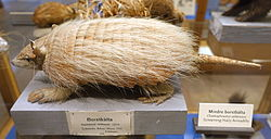 Chaetophractus vellerosus - Swedish Museum of Natural History - Stockholm, Sweden - DSC00653.JPG