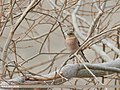 Chaffinch (Fringilla coelebs) (49091538871).jpg