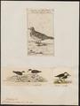 Charadrius pyrrhothorax - 1700-1880 - Print - Iconographia Zoologica - Special Collections University of Amsterdam - UBA01 IZ17200211.tif