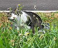 Chat dans les herbes, Lotissement Chante Pie (Beynost) août 2019.jpg