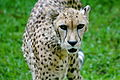 Cheetah at the memphis zoo.JPG
