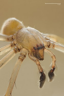 Cheiracanthium mildei male.jpg