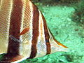 Chelmonops truncatus cleaned by Cochleoceps orientalis.jpg