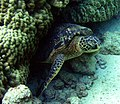 Chelonia mydas is resting under a coral.jpg