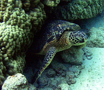 Chelonia mydas is resting under a coral