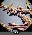 Chenopodium polyspermum sl5.jpg