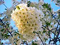 Cherry blooms.jpg