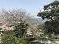 Cherry blossoms in Sasayama Park 16.jpg