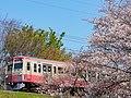Cherry blossoms with Seibu Tamagawa Line at Nogawa(Akaden).jpg