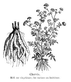 Botanisk plansch med sockerrot från 1904.