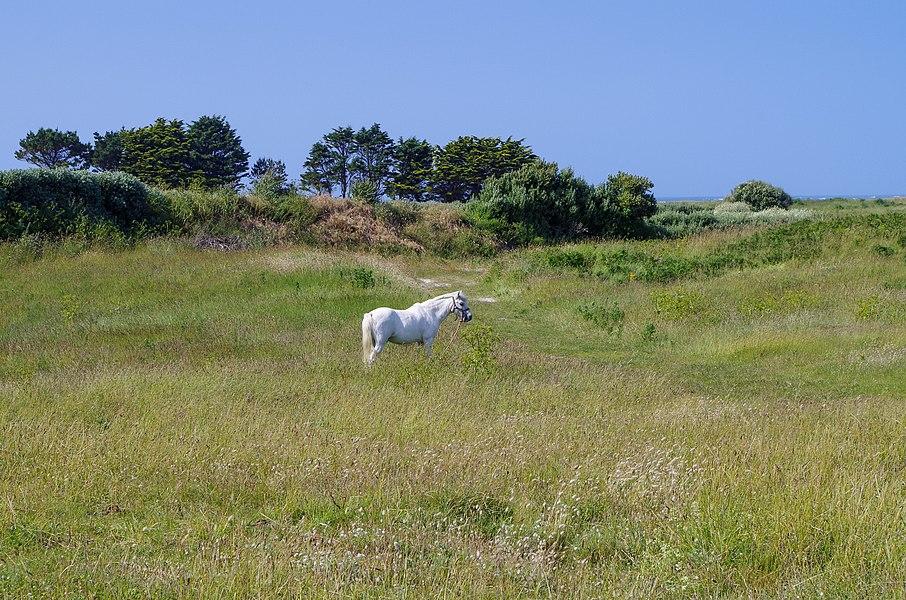Cheval blanc sur l'île de Batz