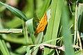 Chickweed geometer moth (29705333998).jpg