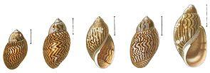 Schalen der Chilina fulgurata